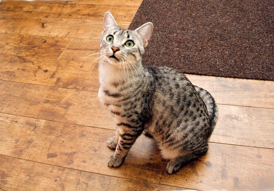 предками египетской мау были египетские кошки