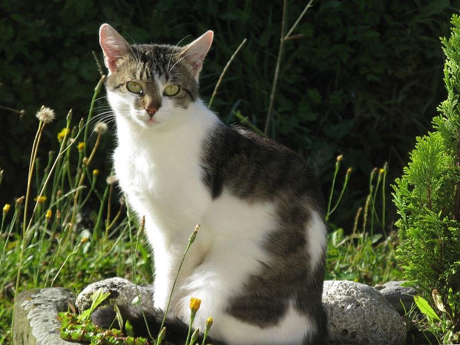 Европейская короткошерстная кошка пользуется большой популярностью в Европе
