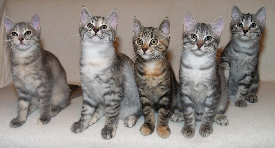 Европейская короткошерстная кошка может иметь разный характер