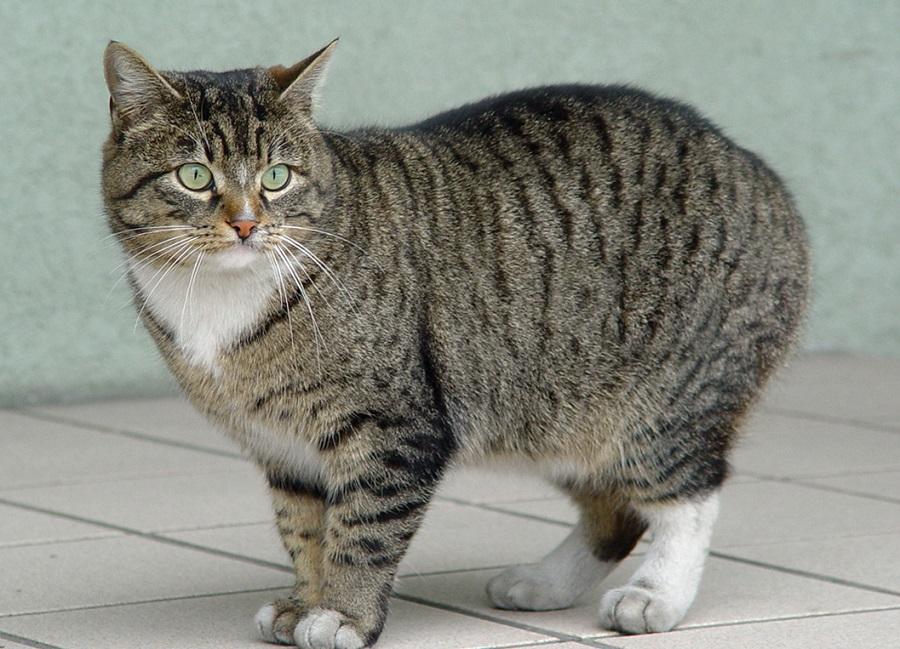 Европейская короткошерстная кошка происходит от домашней беспородной