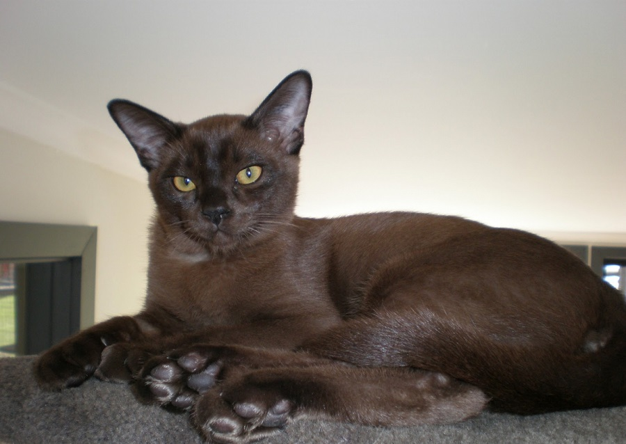 Гавана очень красивая шоколадная кошка