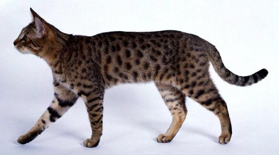 Родиной калифорнийской блестящей кошки является Калифорния