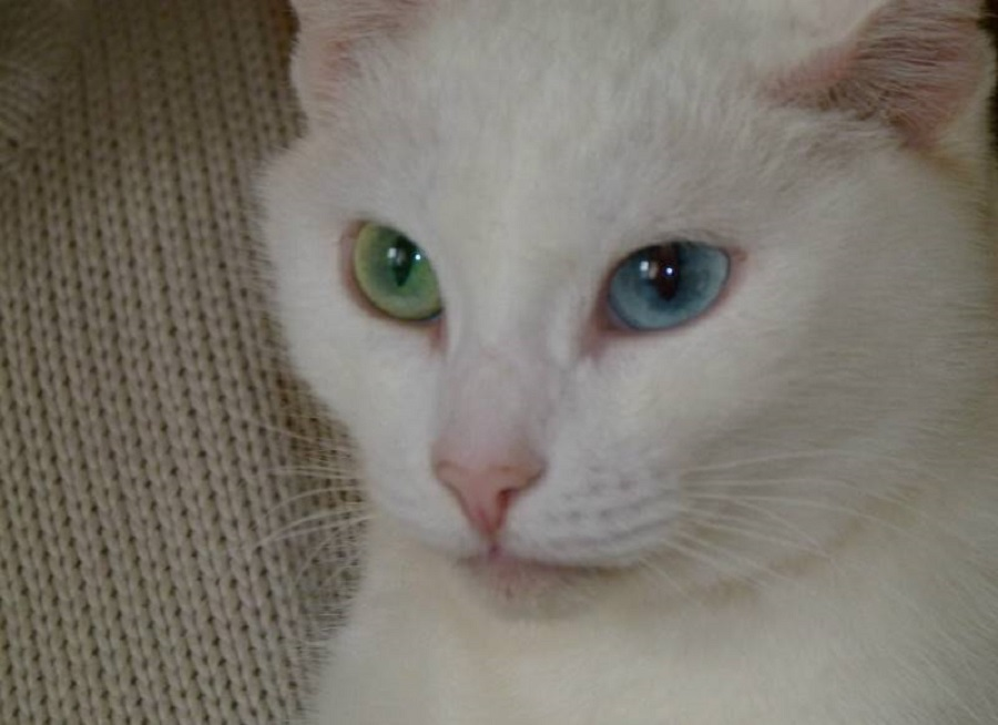 У каумэни один глаз голубой, второй злёный