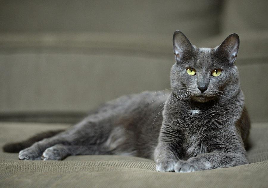 Кораты в Таиланде являются почитаемыми кошками