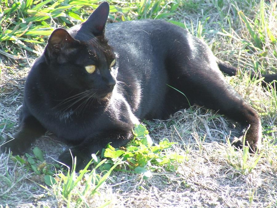 Мандалай красивая кошка