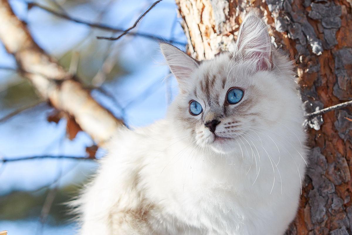 Невская маскарадная кошка: фото