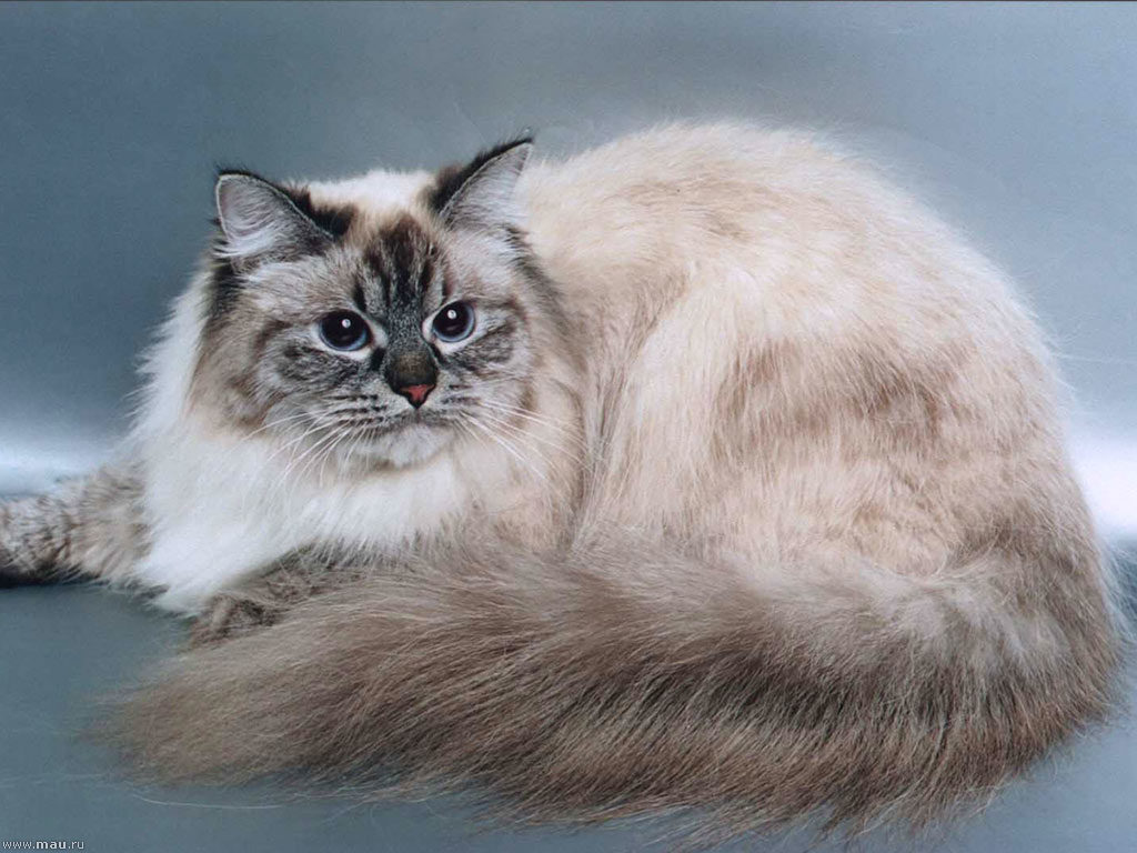 Невская маскарадная кошка: описание, фото породы