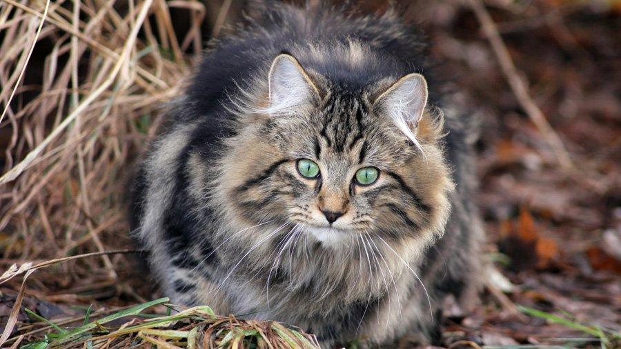 Норвежская лесная кошка-01