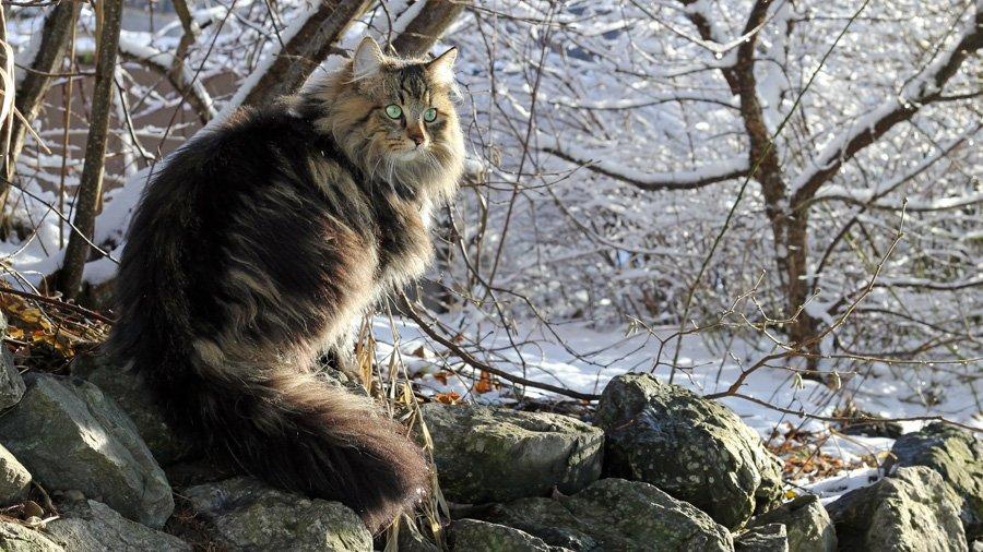 Норвежская лесная кошка-02