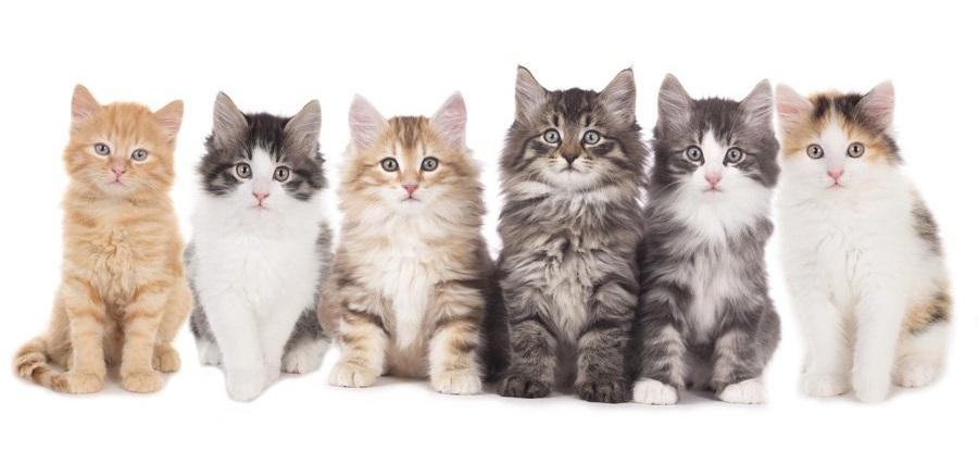 Норвежская лесная кошка: фото и описание породы