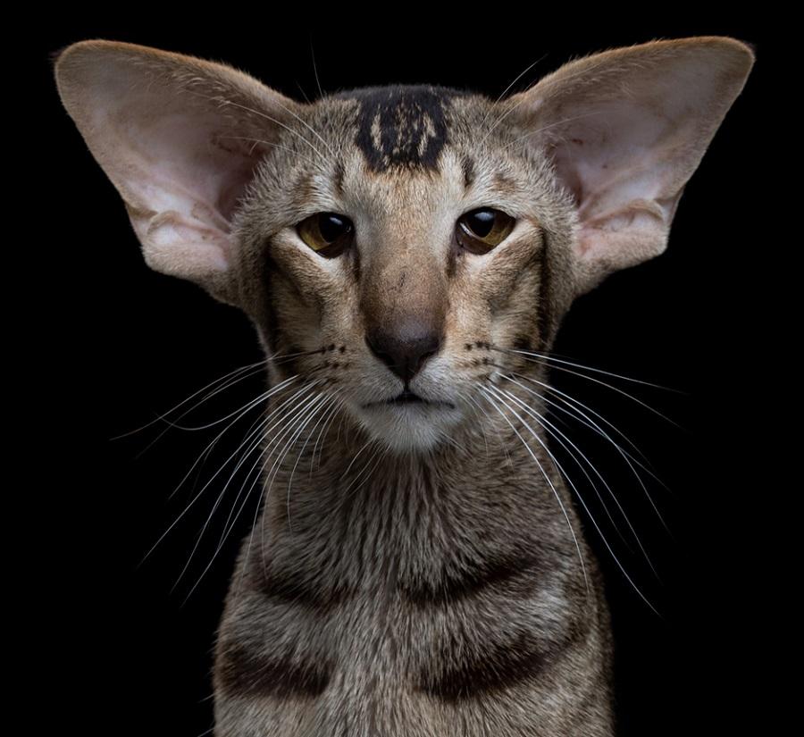 Ориентальная короткошерстная кошка выглядит довольно элегантно