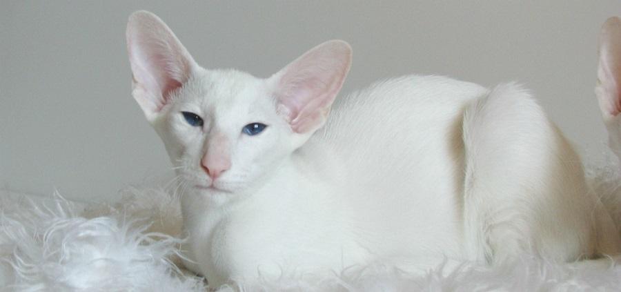 Ориентальная короткошерстная кошка: фото и описание породы