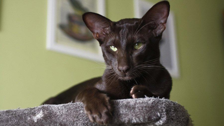 Ориентальная короткошерстная кошка принадлежит к восточным породам