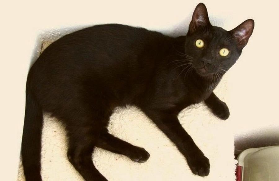 Кошка эксперементальной породы пантеретта