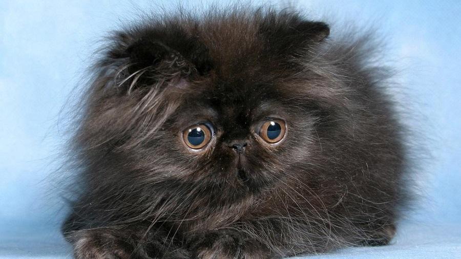 Персидская кошка: описание породы