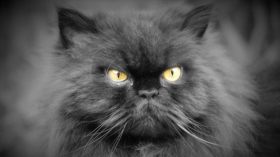 Персидская кошка: фото