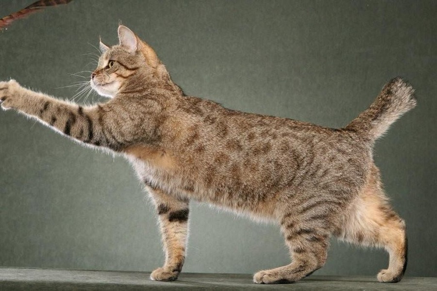 Пикси-боб произошла от дикой и домашней кошек
