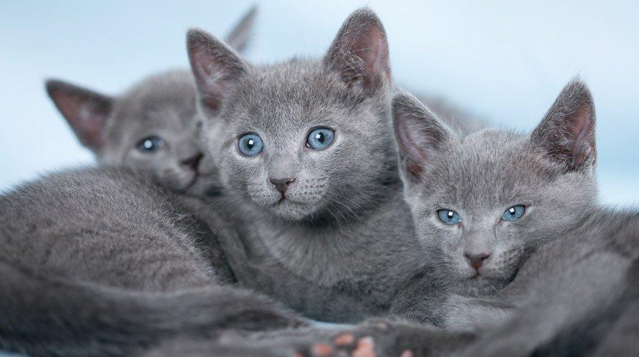Русская голубая кошка: описание породы