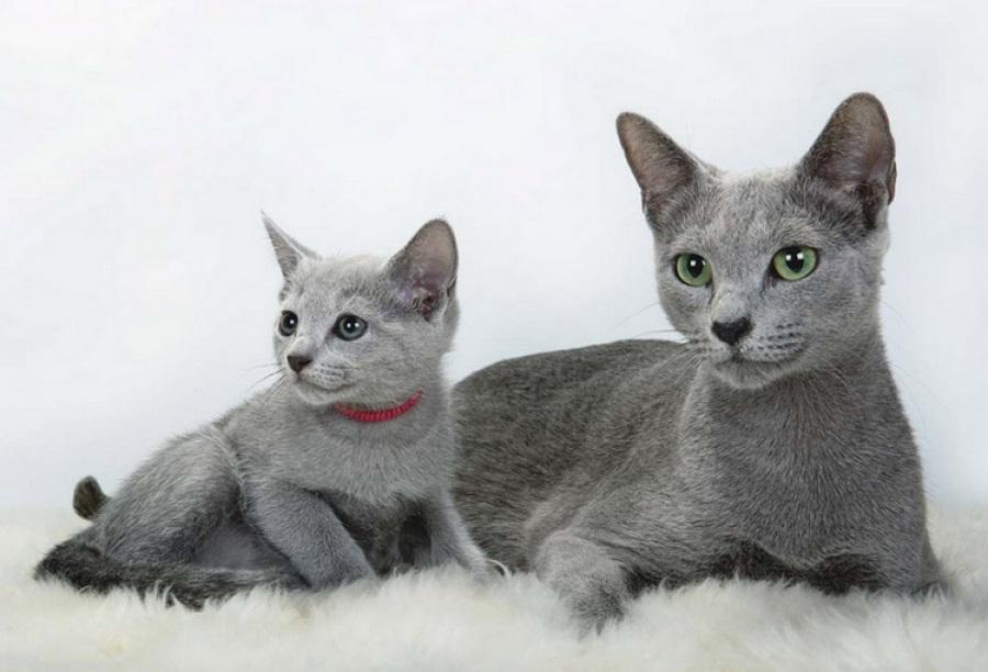Русская голубая кошка: фото и описание