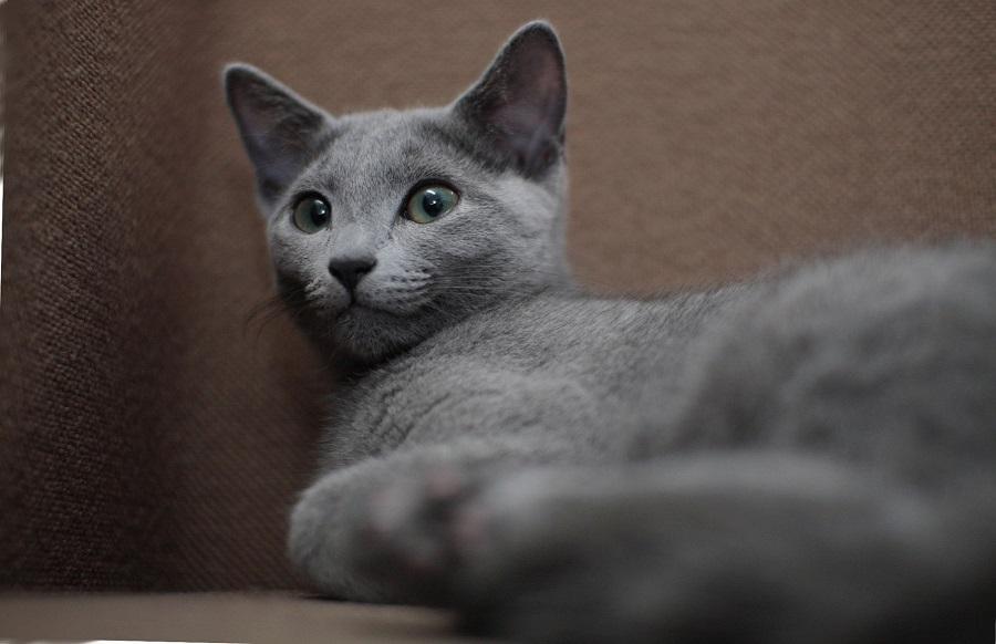 Русская голубая кошка была популярна в Британии в 18 веке
