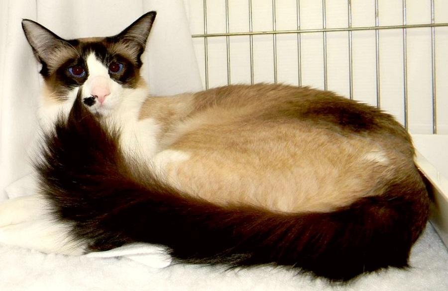 Сейшельская кошка: описание породы, фото, цена
