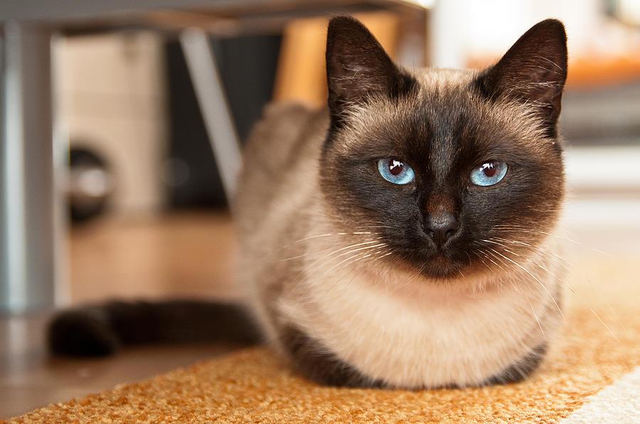 Сиамская кошка: фото, описание, породы