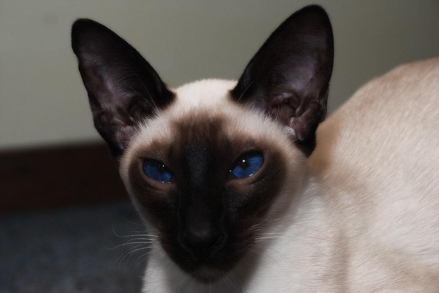 Сиамская кошка: фото, описание, характер