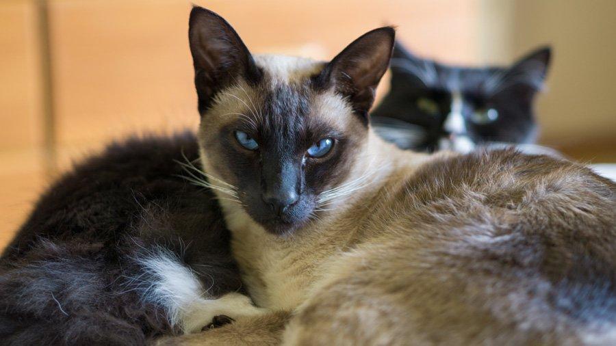 Сиамская кошка: фото, описание породы, цена