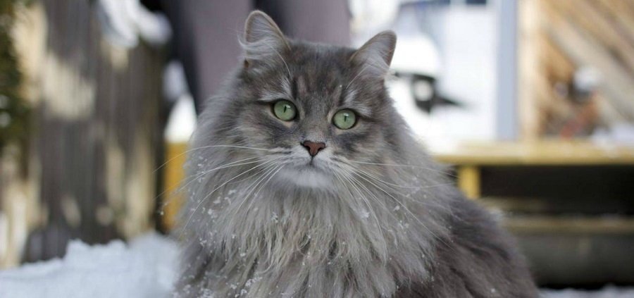 Сибирская кошка: подробное описание породы