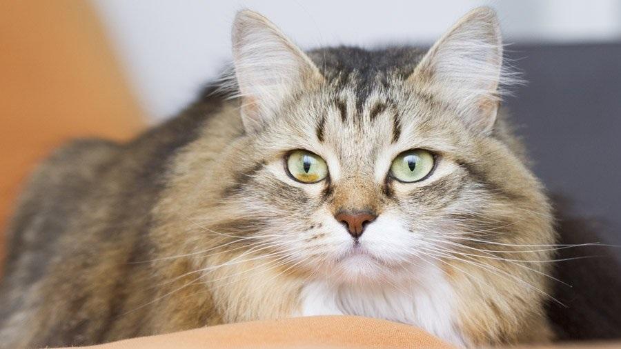 Сибирская кошка имеет твёрдый характер