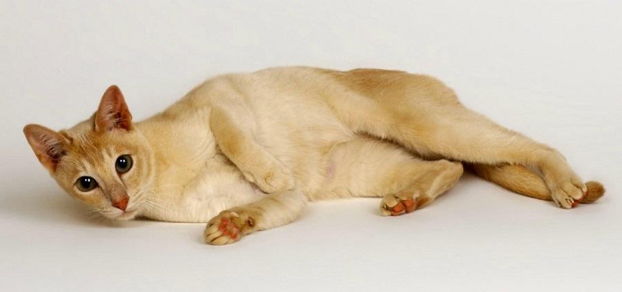Цейлонская кошка: описание породы, фото