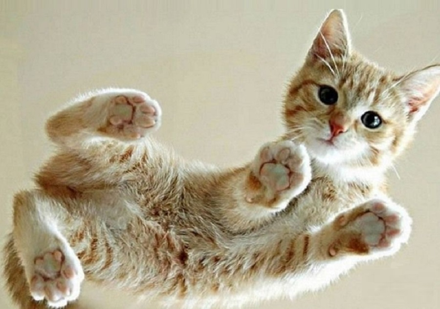 Цейлонская кошка: описание, фото