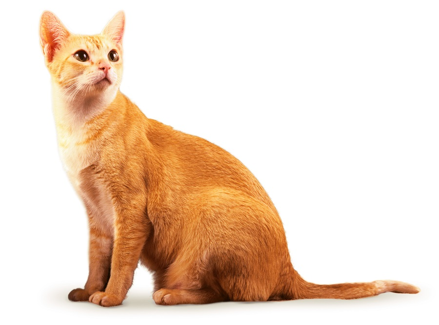 Цейлонская кошка: фото, описание