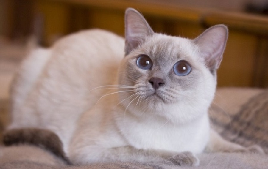 Тайская кошка: фото, описание породы, цена, уход