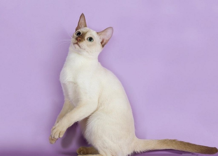 Тонкинская кошка: фото описание, уход