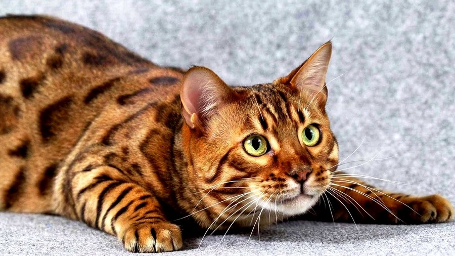 Тойгер: фото, описание, характер породы