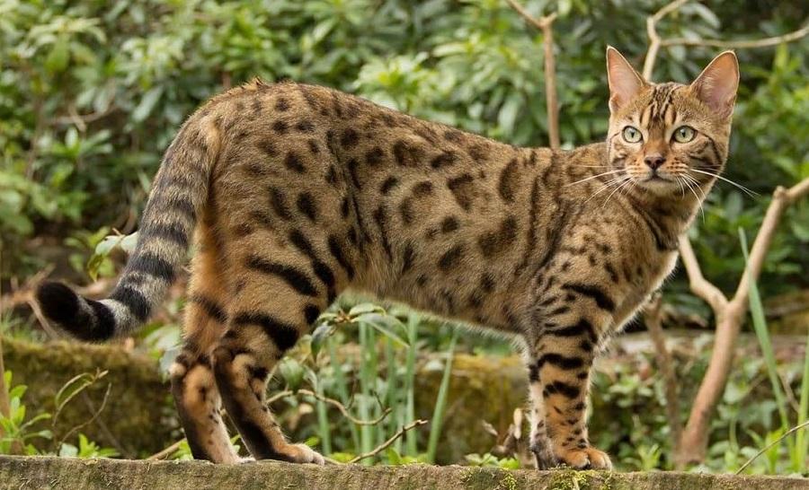 Уссурийская Кошка: фото, описание, цена породы