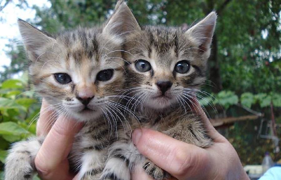 Вена-вудс очень похожа на американскую короткошерстную кошку