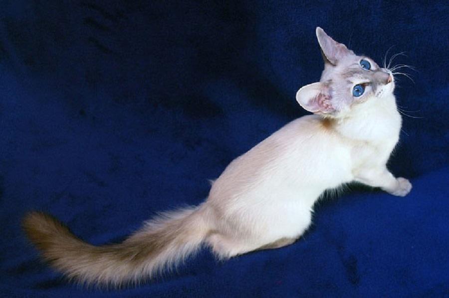 Яванская кошка: описание породы, фото, цена
