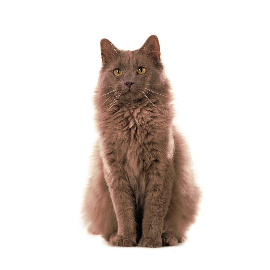 Йоркская шоколадная кошка: название породы, фото, описание, цена