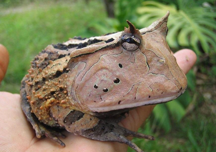 Аргентинская рогатая лягушка - один из самых редких экзотических животных рис.3