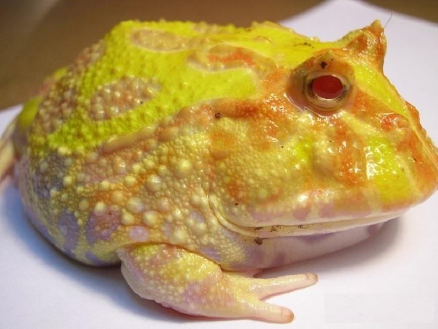 Аргентинская рогатая лягушка - один из самых редких экзотических животных рис.4