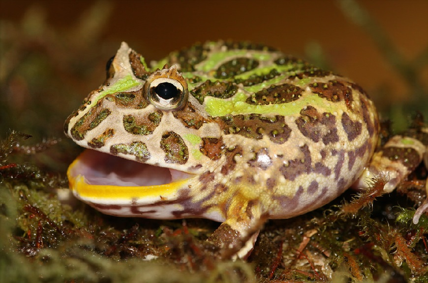 Аргентинская рогатая лягушка - один из самых редких экзотических животных рис.1