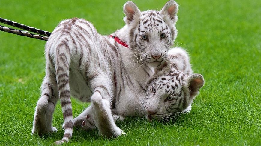 Экзотические домашние животные: белый тигр рис. 2