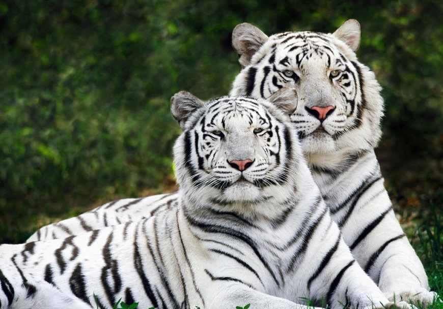 Экзотические домашние животные: белый тигр рис. 3