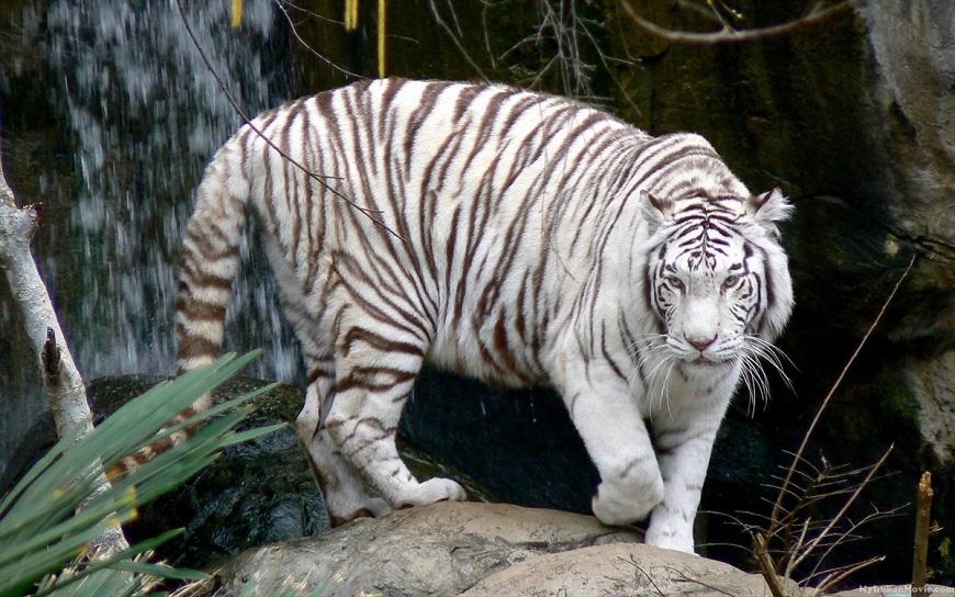 Экзотические домашние животные: белый тигр рис. 1