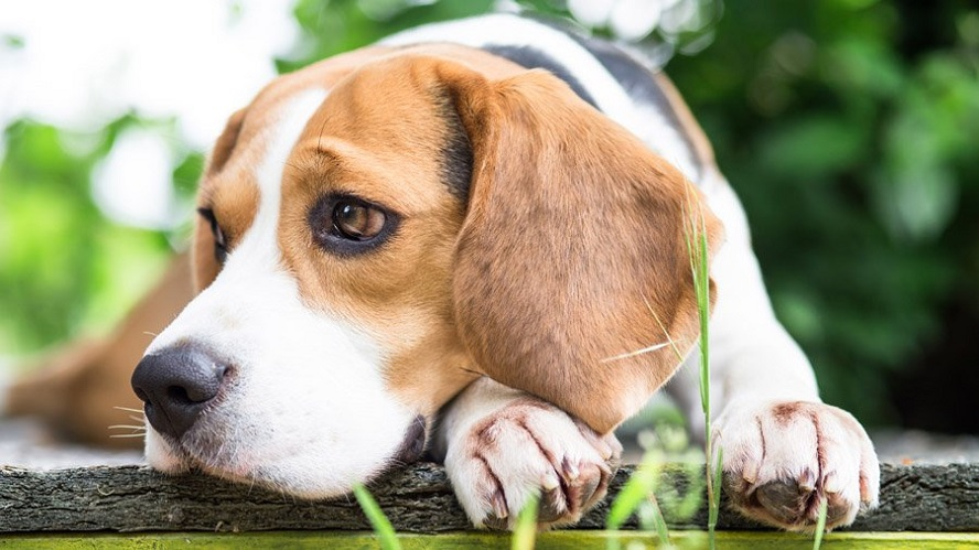 Бигль: фото, описание, характер, цена щенка