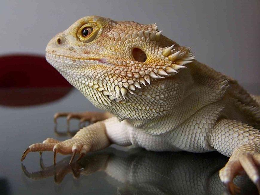 Экзотические животные: бородатая агама
