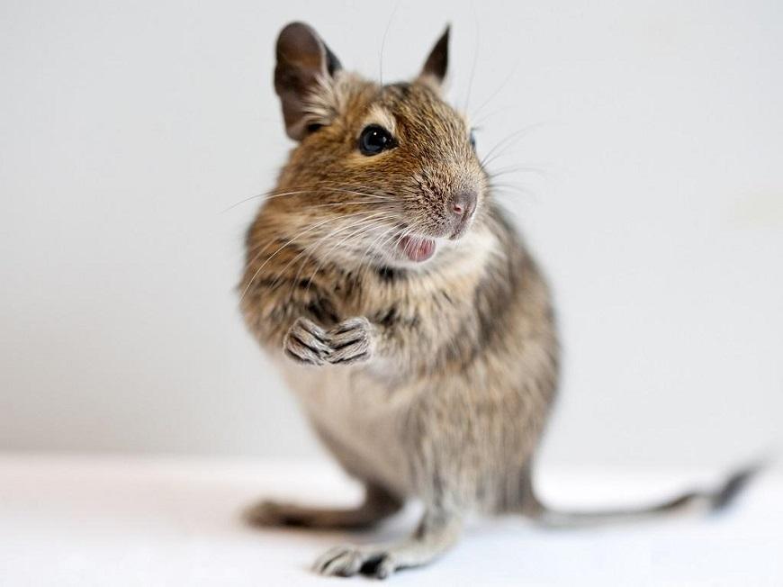 Дегу - милое домашнее экзотическое животное