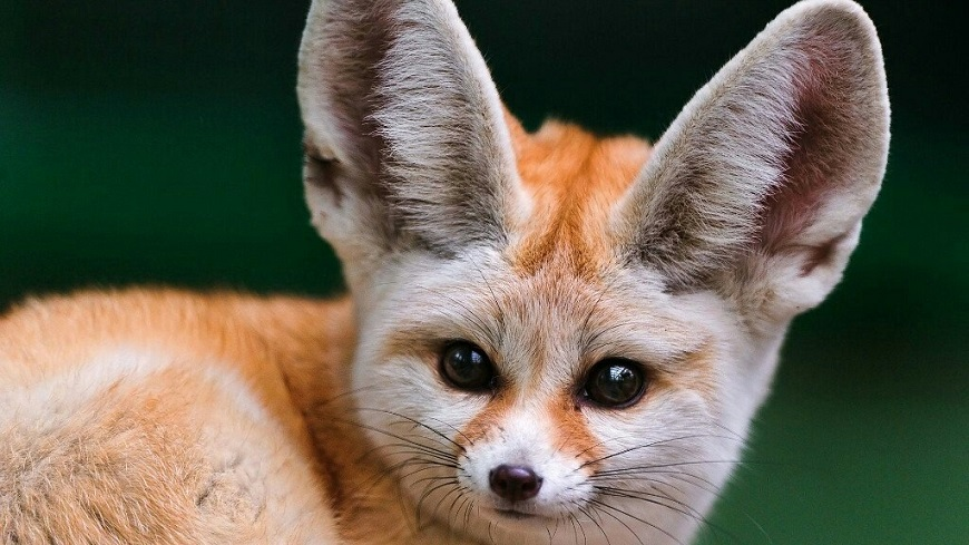 Домашние экзотические животные: фенек